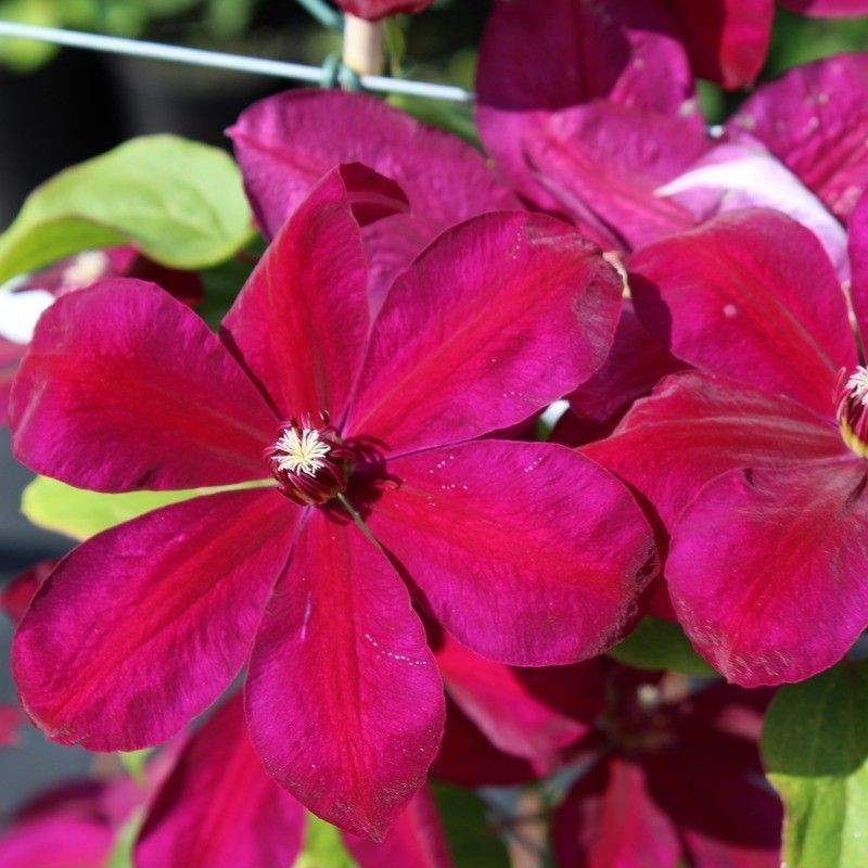 Clematis westerplate