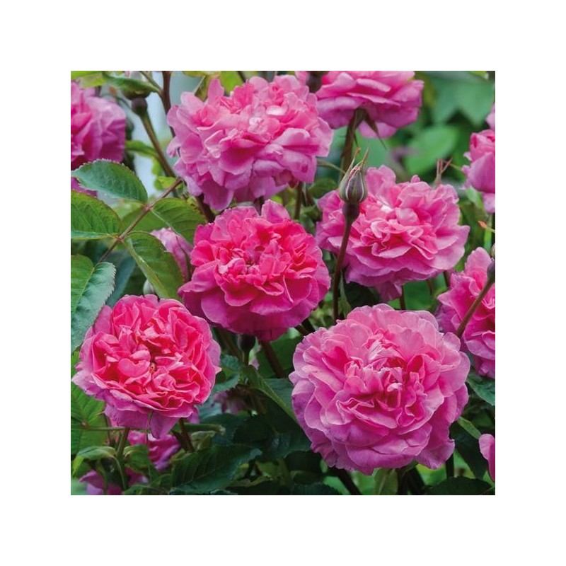 Rosa Englands Rose