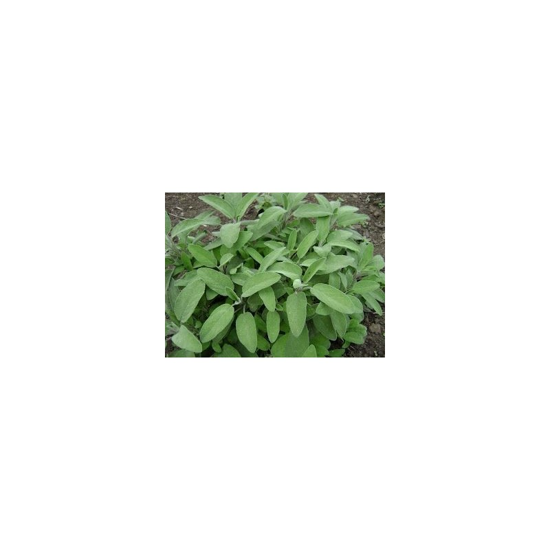 Salvia officinalis C-18