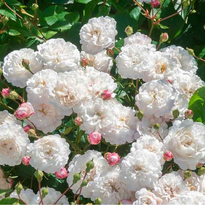 Rosa Little White Pet